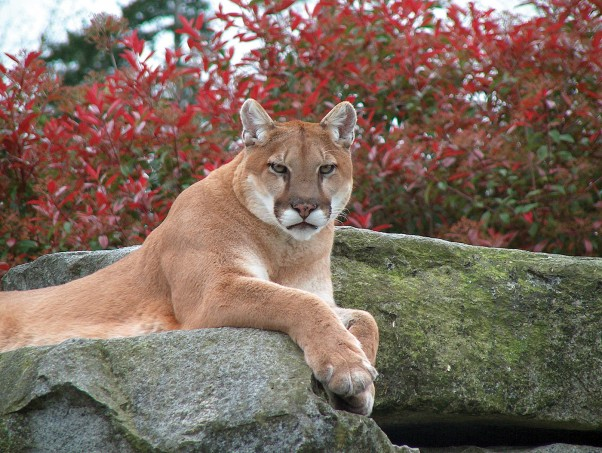 The cougar, with 90 per cent muscle, is the second largest cat in the Americas.  They can leap 14 metres across and are masters at blending in, their large padded paws allowing them to travel in near silence.  Photo courtesy Cougar Mountain Zoo