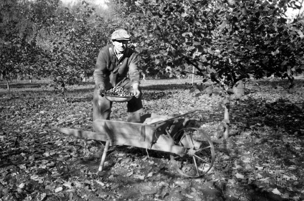 Mack Laing harvests filberts at the Baybrook Nut Orchard, circa 1947.  Photo courtesy Comox Archives & Museum Society (A2002.001.001)