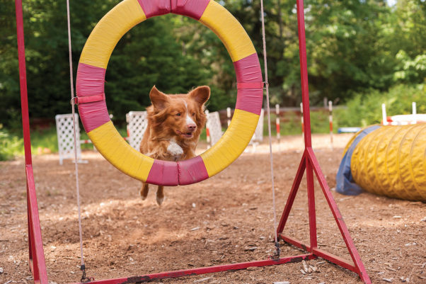 Two-and-a-half-year-old Duck Toller Boomer takes a leap of faith on the agility course.  Photo by Seadance Photography