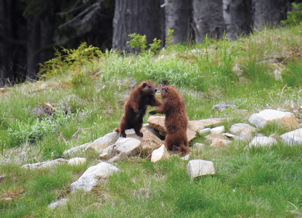 """Play fighting (""""boxing"""") is a common behavior with Vancouver Island Marmots, like these two boxing yearlings. Photo by Joey Chrisholm"""