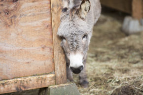 Sadly, donkeys like Jake, above, are often in need of rescue. Many poeople acquire these long-eared equines—which can live for 35 to 50 years—without fully understanding basic donkey husbandry. Photo by Boomer Jerritt